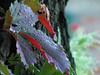Осеннее утро (КсенияПоспелова) Tags: autumn leaves parthenocissus liane september капли