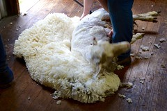 Sheep shearing (Mark Tindale) Tags: wool clean pure soft sheep australia shear shearing shed victoria