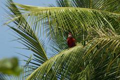 20160130-5C4A0619 (Take-it-easy59) Tags: 2016 30012016 ara aramacao corcovado corcovadoparquenacional costarica geelvleugelara npcorcovado scarletmacaw nature naturephotography tropicalrainforest tropischregenwoud winter
