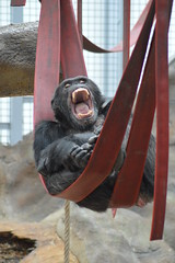 Common chimpanzee (James L Taylor) Tags: colchester zoo 7916 pan troglodytes common chimpanzee