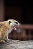 Awe cute ickle Meerkat!! (Michelle Tuttle) Tags: meerkat nature animal wildanimal cute teeth roar snarl sharp bite contradiction