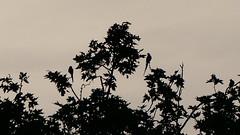 Psittacula krameri - Psittacidae - Perruche  collier - Parc de Sceaux - Hauts-de-Seine - Ile-de-France - France (vanaspati1) Tags: psittacula krameri psittacidae perruche  collier parc de sceaux hautsdeseine iledefrance france birds oiseaux voler vanaspati1 nature sauvage animaux oiseau bird couleurs colors