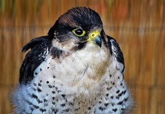 Lanner Falcon (dlanor smada) Tags: lannerfalcon birdsofprey aylesbury bucks birds