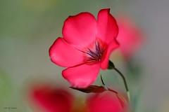 Rouge en douceur (jpto_55) Tags: fleur rouge macro bokeh fuji fujifilm omlens om50mmf2macro commercy meuse lorraine france lin linrouge ngc