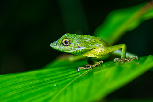Bronchocela rayaensis, Gunung Raya green-crested lizard - Khao Sok National Park
