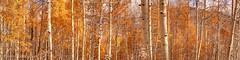 Colorado Gold (OJeffrey Photography) Tags: fallcolors aspen aspentrees golden rockymountains colorado co coloradorockymountains panorama pano jeffowens ojeffrey ojeffreyphotography nikon d800