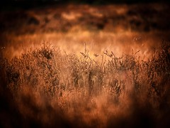 Dreamy moors.. (ParadoX_Design) Tags: moors heathland erica heide dreamy abstract tone color vegetation plants dof bokeh heath flora