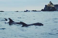 The three musketeers (ManuSotomayor) Tags: sea latinamerica southamerica landscape nature animals dolphins isladamas puntadechoros coquimbo chile