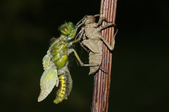 Broad-bodied Chaser Dragonfly emerging..(Libellula depressa). (Sandra Standbridge.) Tags: libelluladepressa broadbodied chaser broadbodiedchaser emerging insect animal wildandfree outdoor nature wildlife macro