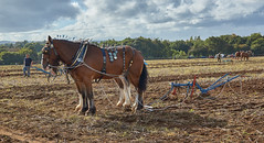 DSC05659 (Andy Oldster) Tags: eashing godalming farm plough ploughing heavyhorses shire sony alpha a65 slt