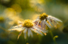 It seemed that life was so wonderful, a miracle... (hploeckl) Tags: miracle life bokeh pentacon switzerland nikon d750 flowers dew fall automn morning