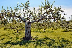 Open Arms (emerge13) Tags: stjosephdulacquébec orchards vergers pommiers appletrees trees arbres stjosephdulac geotagged thegalaxyhalloffame spiritofphotography