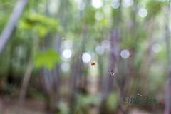 MCG_1016 (mikegreen78) Tags: spider web britain british countryside forest leaf leaves stodmarsh woodland woods littlebourne england unitedkingdom gb