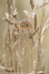 Harvest Mouse (Alastair Marsh Photography) Tags: harvestmouse harvest harvestmice mouse mice mammal mammals smallmammal smallmammals wildlife animal animals animalsintheirlandscape britishwildlife britishanimals britishanimal britishmammals britishmammal