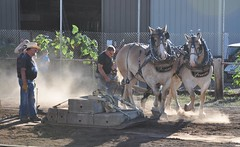 2016 Durham CT Fair (caboose_rodeo) Tags: 999 drafthorsepulling drafthorse belgians contest dust backlit