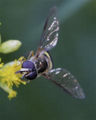 Female Eupeodes Syrphid Fly (milesizz) Tags: spilomyiasayi diptera milwaukee wisconsin wi aschiza syrphidae syrphidflies eristalinae syrphinae syrphini eupeodes metasyrphus