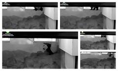 The saga of a slippery window sill (heights.18145) Tags: smithsoniansnationalzoo ccncby cuteanimals pandas bears beibei meixiang pandabears windowsill slippery collage