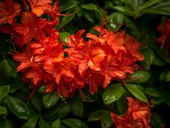 Rhododendron-12 (olipennell) Tags: blte botanischergarten mnchen nymphenburg pflanze rhododendron
