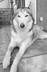 Our lovely dog (karine_avec_1_k) Tags: whiteandblack noiretblanc husky chien dog