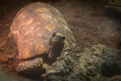 Freundliche Schildkrte (Sylsine) Tags: tiere schildkrte reptilien tier dortmund