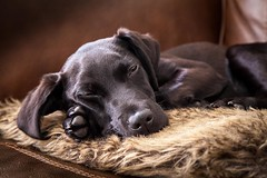 Ruby is just too Cute!! (Dave Denby) Tags: dog cute adorable sleeping canine labrador retriever