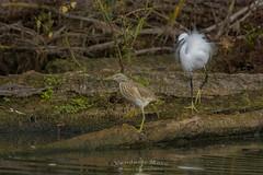 little egret defend territory against Squacco Heron (fire111) Tags: little egred l squacco heron kleine zilverreiger ralreiger birding wild bird water swamp nikon