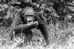 Thinking! (JohnnyFlesch) Tags: ape blackwhite wise