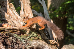 Red Squirrel - Nice landing D75_5253.jpg (Mobile Lynn) Tags: nationaltrust rodents wild brownseaisland redsquirrel nature fauna mammal mammals rodentia wildlife purbeckdistrict england unitedkingdom gb