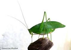 The Visitor (Dawn in Phuket, Thailand) Tags: tettigoniidae katydid leafhopper leafinsect grasshopper insect green wildlife thailand phuket asia bonisland