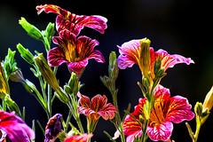 Sommer; wisst ihr noch? (novofotoo) Tags: blumen blte botanischergarten composing digitalimaging flowers garten gegenlicht nachtschattengewchse natur parks reise salpiglossissinuata sommer trompetenzunge botanicalgarden garden nature park summer
