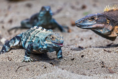 Trio of black iguanas on the beach (wellsie82) Tags: 6d americas costarica costaricaanimals ctenosaurctenosaurs guanacaste hotelriuguanacaste jasonwells latinamerica nicoyapeninsula pacificslope playamatapalo republicofcostarica riu riuguanacaste animal basking beach blackctenosaur blackiguana canon centralamerica coast eos fauna green heat holiday hotel iguana inthewild jasonwellscouk landscapeformat lizard naturalhabitat naturalworld nature nopeople outdoors reptile resort rural sand travel vacation wellsie82 westernhemisphere wild wildlife wwwjasonwellscouk