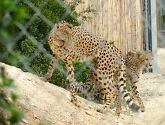Gupards (A-MPerrone) Tags: dromadaire hartmann landducap girafe zoo montpellier animaux zbre gupard wallaby girafon ane