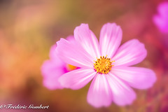 lying in the pink light Sunday Morning (frederic.gombert) Tags: cosmos d800 nikon light flower flowers pink color colors colorful macro plant autumn dof 1001nights