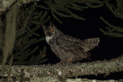 Bubo virginianus (Joo Andriola) Tags: bubo virginianus owl jacurutu strigidae coruja bubovirginianus bird ave