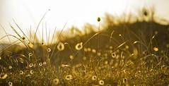 Dune de Goulien (nolyaphotographies) Tags: crozon goulien rade mer plage fleur dunne soir oyat finistere bretagne france champ paysage landscape profindeur de plante pelouse