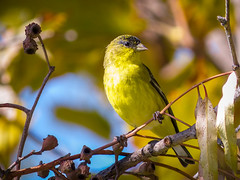 """Bright and Beautiful""   Lesser Goldfinch (Spinus Psaltria) (Cathy Lorraine) Tags: lessergoldfinch bright beautiful yellow bird spinuspsaltria nature outdoors autumn california unitedstates finch neighborhood ngc sunrays5 coth5 npc"