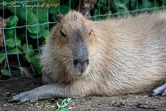 Kangaroo Creek Farm-10 (Lisa2.0) Tags: vernon vacation summer july2016 kangaroocreekfarm bc capybara