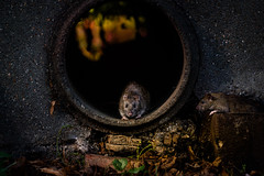 Chertsey Rats - Watching (Jonathan Ashdown) Tags: rats wildlife animal animals uk england chertsey rodent cute surrey urban pest adorable nature canon 550d 70200 f4 riverbank rat tails tail paws animalplanet rspb library