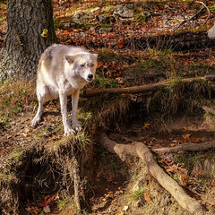 One Angry Wolf! (wordsmith_Cornwall) Tags: whitewolf wolf montebelloquebec parcomega omegapark