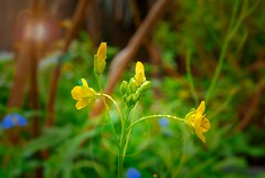 71/365... Flowers in the Rain! #365Days #365Dias #365PhotoProject (cristianyocca) Tags: 365days 365photoproject 365dias