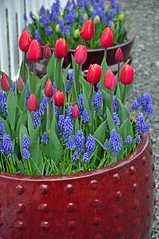 Spring tulips and bluebells (Perl Photography) Tags: tulips bluebells flowers spring flowerpot nature garden planter botanical blossoms petals red blue floral gardening