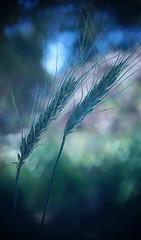 Field of bokeh (judith511) Tags: bokeh heartbokeh hearts wheat odc showusyourheart