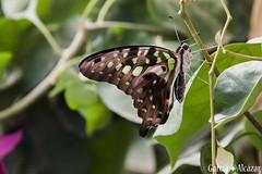 Graphium agamemnon (Manolo G.A.) Tags: canon 50d 18200 mariposa butterfly mariposario njar almera graphium agamemnon