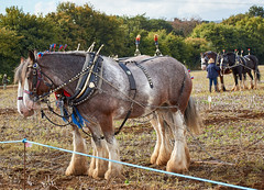 DSC05612 (Andy Oldster) Tags: eashing godalming farm plough ploughing heavyhorses shire sony alpha a65 slt