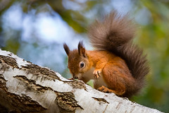 Ready to Pounce (In Explore @ 133 ) (raytaylor77) Tags: brownseaisland fall fir redsquirel wildlife branch cute nature possing wild england unitedkingdom gb