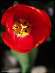Tulipe du 1er mai