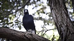 Murderer (johnma.com.au) Tags: portrait tree nature birds animal photo branch image wildlife australian best most outback perched magpie popular viewed corvidae