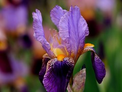 Purple in spring (Giovanni88Ant) Tags: iris osaka  purole hamaderapark
