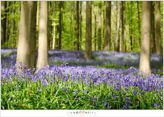 De hyacinten van het Hallerbos (5D052073) (nandOOnline) Tags: bomen belgi boom bos lente zon halle bloemen zonlicht bloem hallerbos lelie hyacint tranendal hyacinthoidesnonscripta bloeien beukenbos boshyacint beukenbomen wildehyacint vlaamsgewest