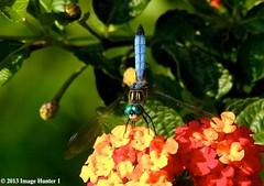Dragonfly on Lantana - Bayou Courtableau, Louisiana (Image Hunter 1) Tags: red orange flower green nature yellow louisiana dragonfly bayou swamp bloom greenery marsh bud lantana canoneos7d bayoucourtableau